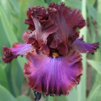 bearded iris, Red Handed, Ghio, 2008